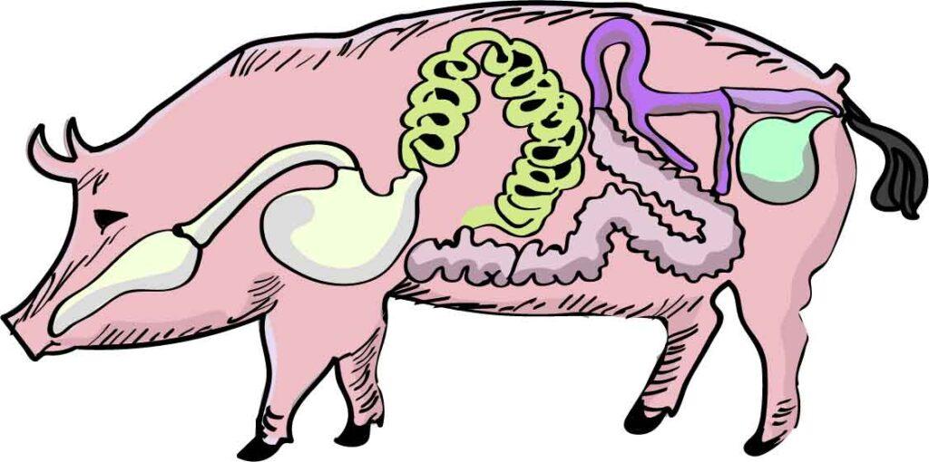 Ilustração da anatomia da galinha e o porco vetorizada